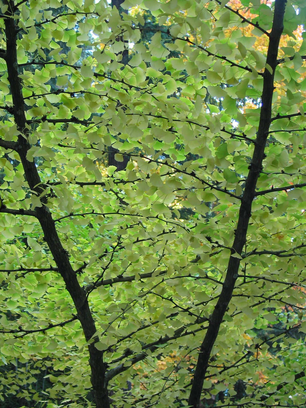 Gingko branches at Japanese Gardens in Portland, OR