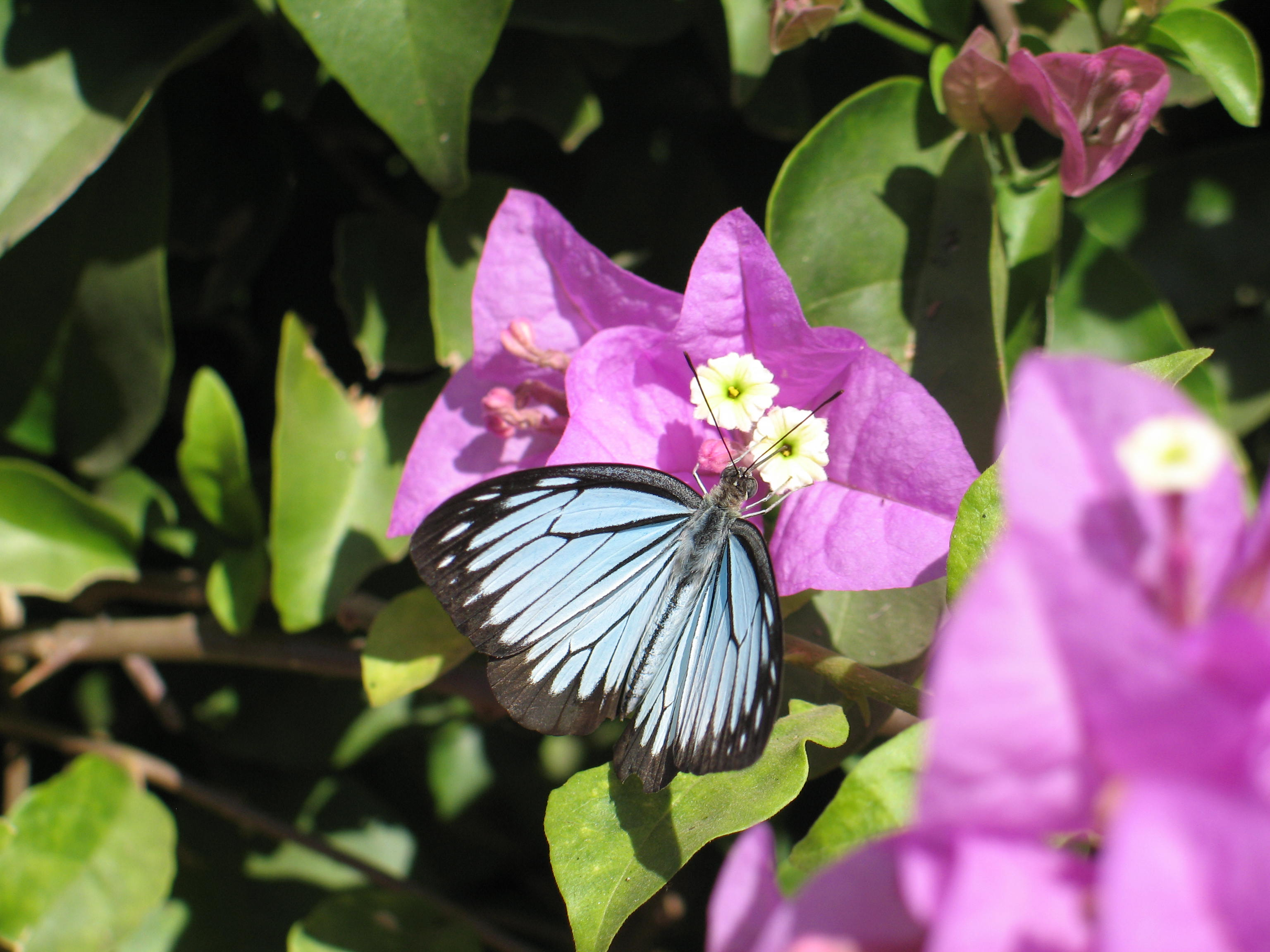 Butterfly on Bouganvilla, Hue, Vietnam